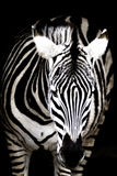 Black and white zebra Royalty Free Stock Photography