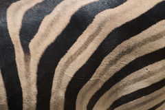 Black and white zebra skin closeup and background Royalty Free Stock Photo