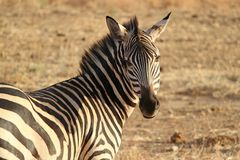 Black and White Zebra Standing during Daytime Royalty Free Stock Images
