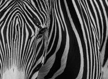 Black and white zebra stripes. A black and white portrait of a zebra Royalty Free Stock Photo