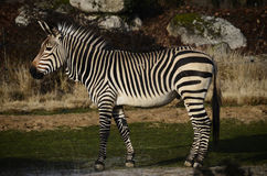 Black and white Zebra in zoo, France Stock Photos