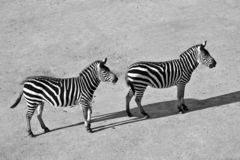 Black and white zebras. Black and White picture of two zebras Stock Photography