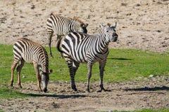 Zebras, horse family animal, lives in grasslands, savannas, wood. Black-white zebras, horse family animal, lives in grasslands, savannas, woodlands, thorny Stock Image
