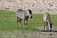 Zebras, horse family animal, lives in grasslands, savannas, wood. Black-white zebras, horse family animal, lives in grasslands, savannas, woodlands, thorny Royalty Free Stock Images