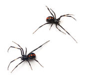 Black Widow Stock Photos
