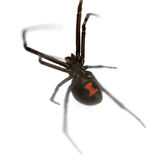 Black Widow. Female Southern Black Widow (Latrodectus mactans) isolated on white background Royalty Free Stock Photo