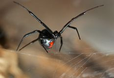 Black Widow. Spider on web showing hourglass marking with arms stretched out menacingly Stock Photo