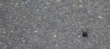 Black Widow bg. Black Widow spider on the sidewalk on the bottom right of image Royalty Free Stock Photography