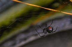 Black Widow. A close up of a black widow Royalty Free Stock Photos