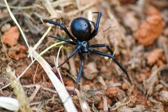 Black Widow. Creeping Stock Photo