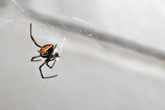 Black widow hunting. Back view of a juvenile black widow with its prey Stock Images