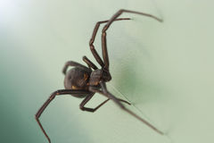 Black Widow Spider. A close shot of a scary black widow spider Stock Photo