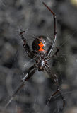 Black Widow Spider. A black widow spider displays its red hourglass while waiting in its web Stock Images