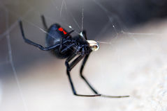 Black widow spider. Close up of a black widow spider in a web Stock Photography