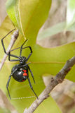 Black Widow. A Black Widow spider climbing up a branch on its web Stock Photo