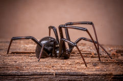 Black Widow Spider. In the desert Stock Photography