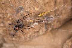 Black widow spider entangling a grasshopper . Black widow spider preparing her catch. When they aren`t eating each other, black widow spiders harness their web Royalty Free Stock Photography