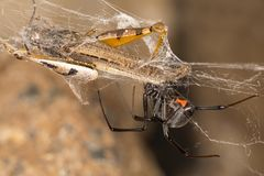 Black widow spider entangling a grasshopper . Black widow spider preparing her catch. When they aren`t eating each other, black widow spiders harness their web Royalty Free Stock Image