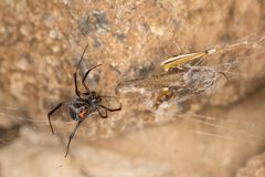 Black widow spider entangling a grasshopper . Black widow spider preparing her catch. When they aren`t eating each other, black widow spiders harness their web Royalty Free Stock Photos