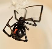 Black Widow Stock Image
