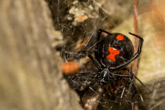 Black Widow Spider. A Black Widow Spider hunting in her web in a fence post in a Florida campground Royalty Free Stock Images