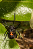 Black Widow Spider Stock Photography