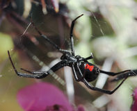 A Black Widow Spider in its Web Stock Images