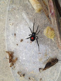 Black Widow Spider Latrodectus Royalty Free Stock Photos