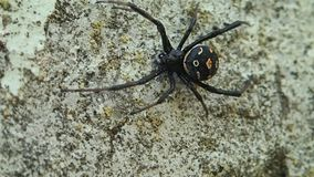 Black widow spider moving a little stock video