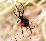 Black Widow spider outdoors Stock Images