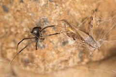 Black widow spider entangling a grasshopper . Black widow spider preparing her catch. When they aren`t eating each other, black widow spiders harness their web Royalty Free Stock Photo