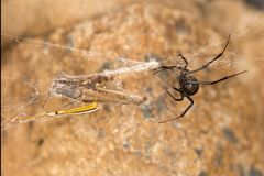 Black widow spider entangling a grasshopper . Black widow spider preparing her catch. When they aren`t eating each other, black widow spiders harness their web Stock Images