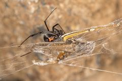 Black widow spider entangling a grasshopper . Black widow spider preparing her catch. When they aren`t eating each other, black widow spiders harness their web Royalty Free Stock Images