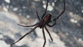 Black widow spider Stock Images