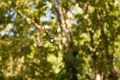 Black widow spider on web showing hourglass marking with arms stretched out menacingly. On a green background Royalty Free Stock Photos