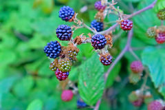 Black Wild Blackberry Stock Image