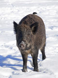 Black Wild boar Stock Photos