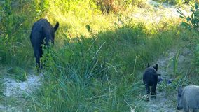 Black wild boar goes along a sandy lane with a piglet. A funny view of a big black wild boar which goes along a sandy lane with a small piglet in summer. They stock video footage