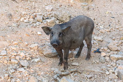 Black wild boar standing Stock Photography
