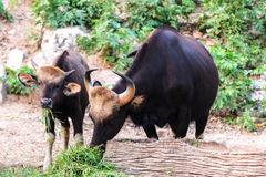 Black wild bull and calf eating grass Stock Photos