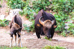 Black wild bull and calf eating grass Royalty Free Stock Photography
