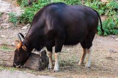 Black wild bull eating grass Stock Photography