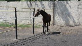 Black wild horse running around the paddock