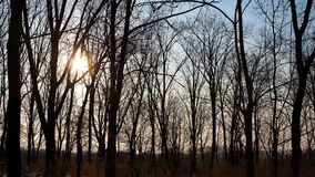 Black wild horse running around the paddock. The Timelapse  of sun going through trees in forest  morning stock video