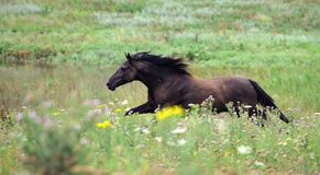 Black wild horse running gallop on the field Stock Image