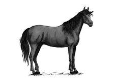 Black wild horse standing vector sketch. Horse vector sketch. Black wild mustang standing on ground. Farm stallion for equestrian racing sport, horse riding Stock Images