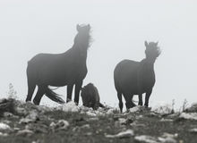 Black Wild Horses Royalty Free Stock Photography