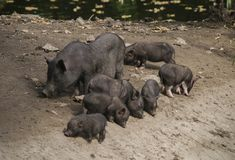 Black wild pig boar female with her newborn babies piggies piglet on the lake shore. Soft focus Stock Photo