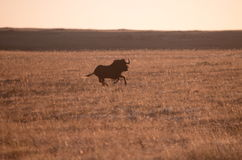 A Black Wildbeest. Running in a field of grass in the morning sunlight Stock Images