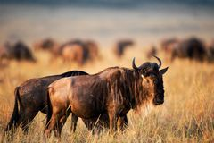 Black Wildebeest. Royalty Free Stock Image